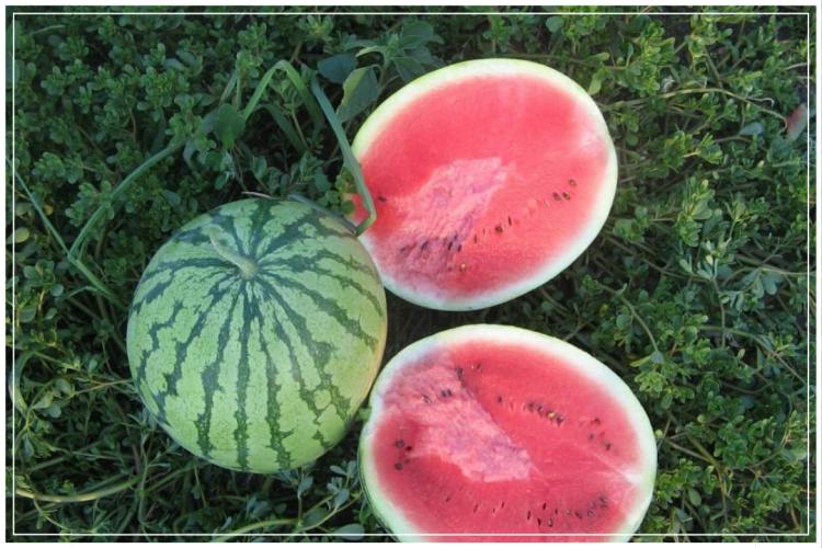 cara menanam semangka