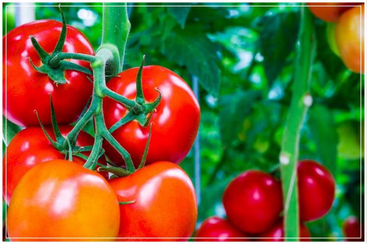 cara menanm tomat dengan hidroponik