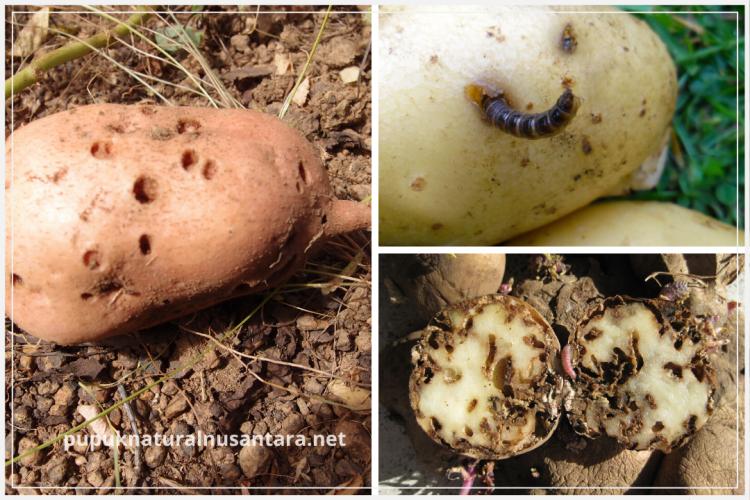 jenis hama kentang