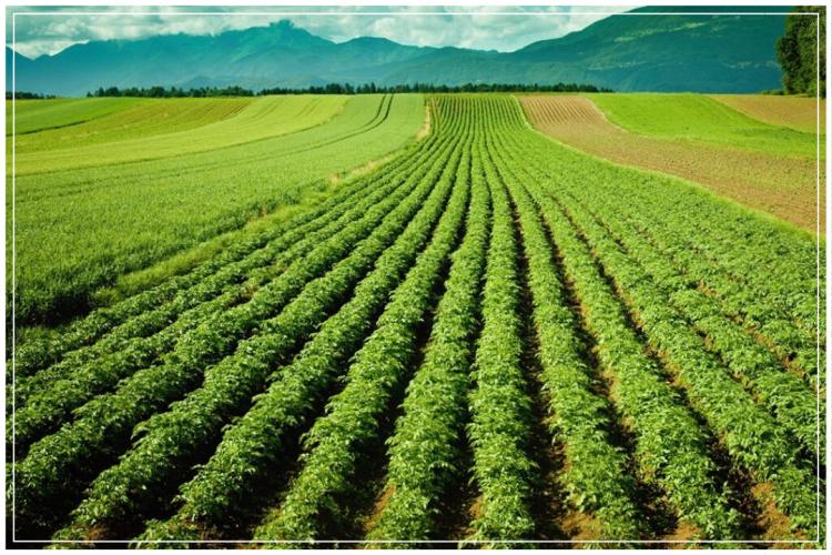 lahan untuk budidaya kentang