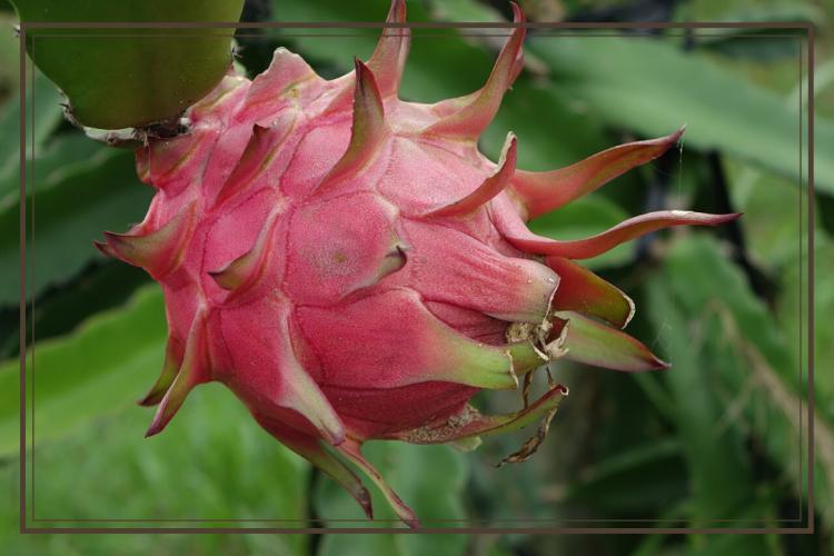 cara budidaya buah naga