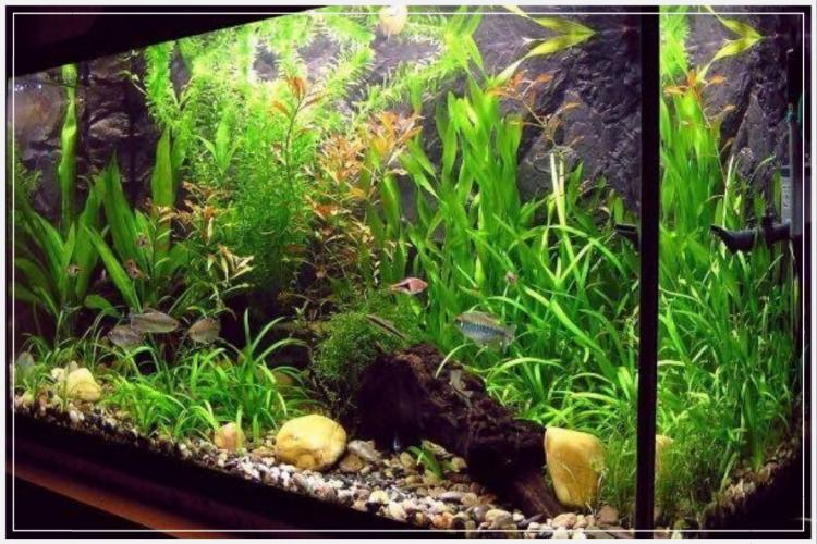 5 Langkah Sukses Budidaya Ikan Guppy Simple untuk Pemula