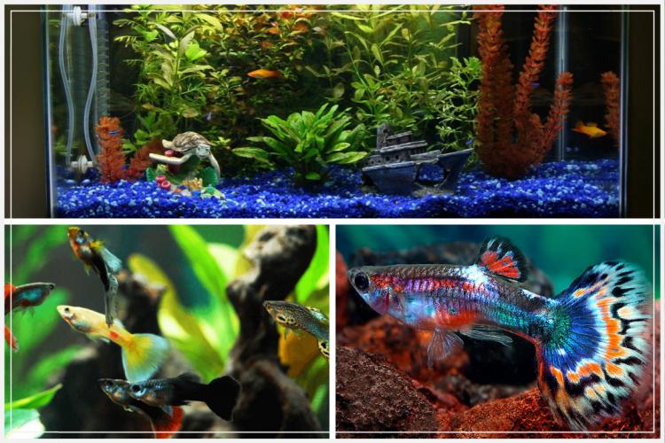 Cara Mudah Budidaya Ikan Guppy