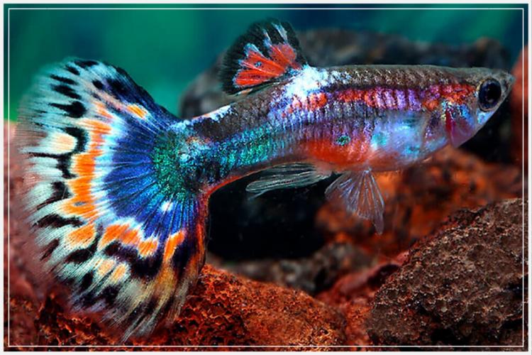 induk ikan guppy