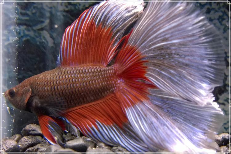 Inilah Tips Sukses Budidaya Ikan Cupang Yang Baik Dan Benar