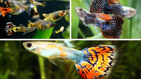 Budidaya Ikan Guppy