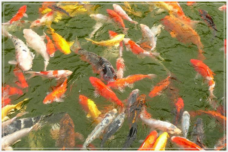 cara sukses budidaya ikan mas