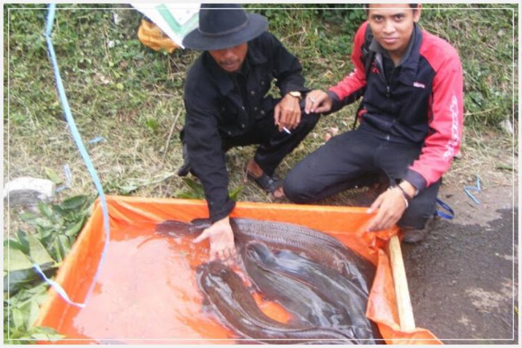 cara pembibitan ikan lele
