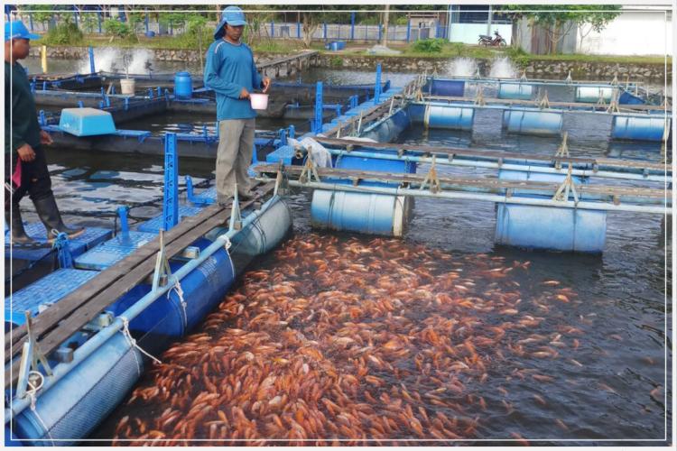 kolam pembibitan ikan nila