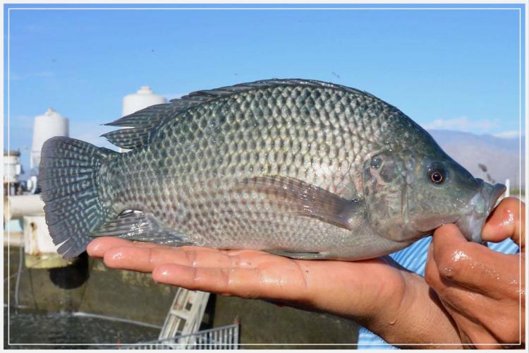 cara memilih indukan ikan nila