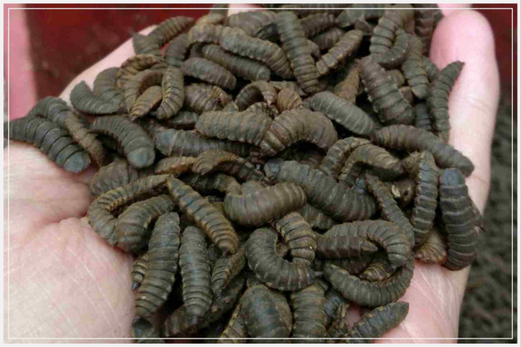 pakan ikan lele maggot