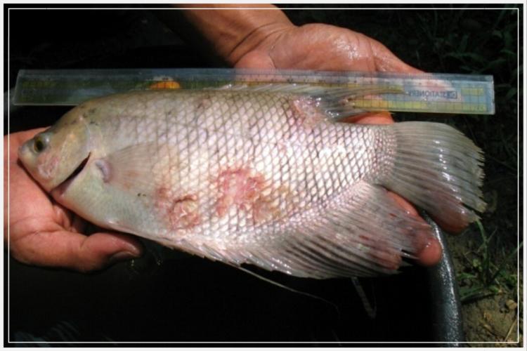 macam macam penyakit ikan