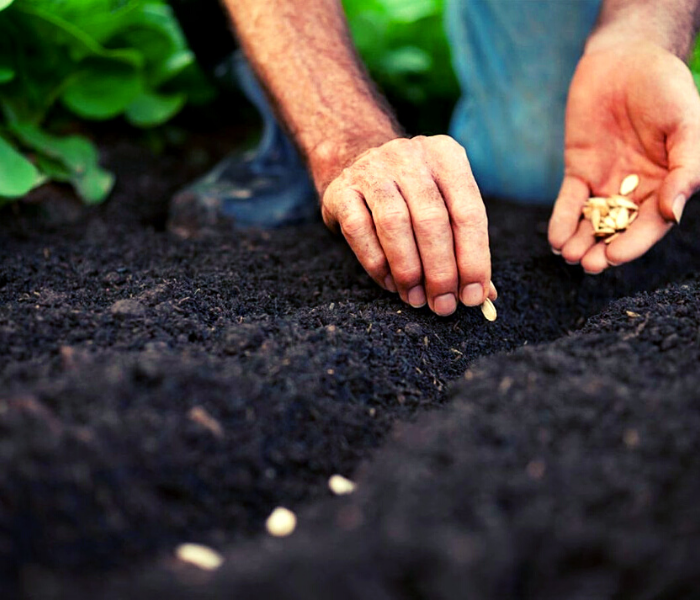 cara menanam timun organik