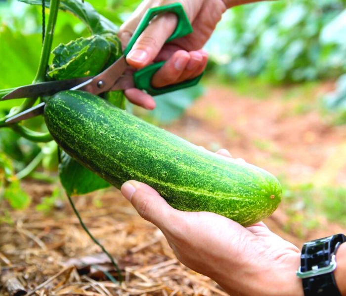 cara budidaya timun organik