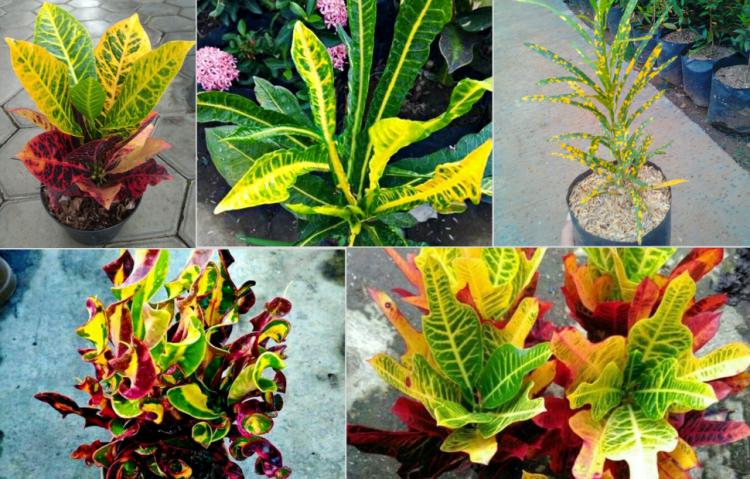 macam-macam tanaman puring