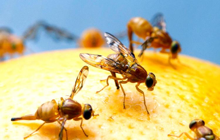 jual perangkap lalat buah