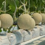 Budidaya Melon Lanjaran