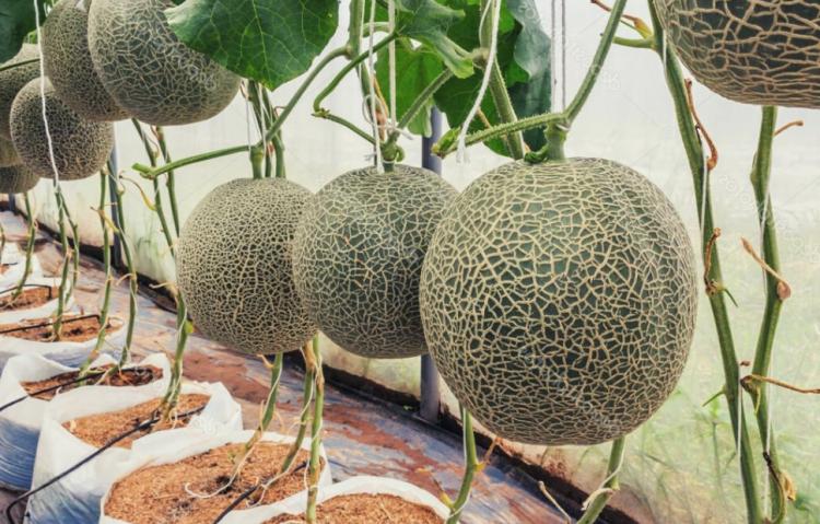 melon lanjaran