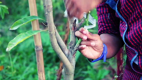 Cara Mencangkok Pohon Mangga