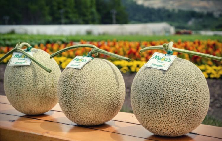 cara menanam melon lanjaran