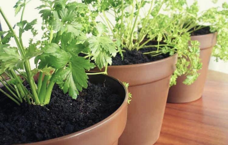 cara menanam seledri di rumah